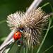 Ladybird, ladybird.... by mave