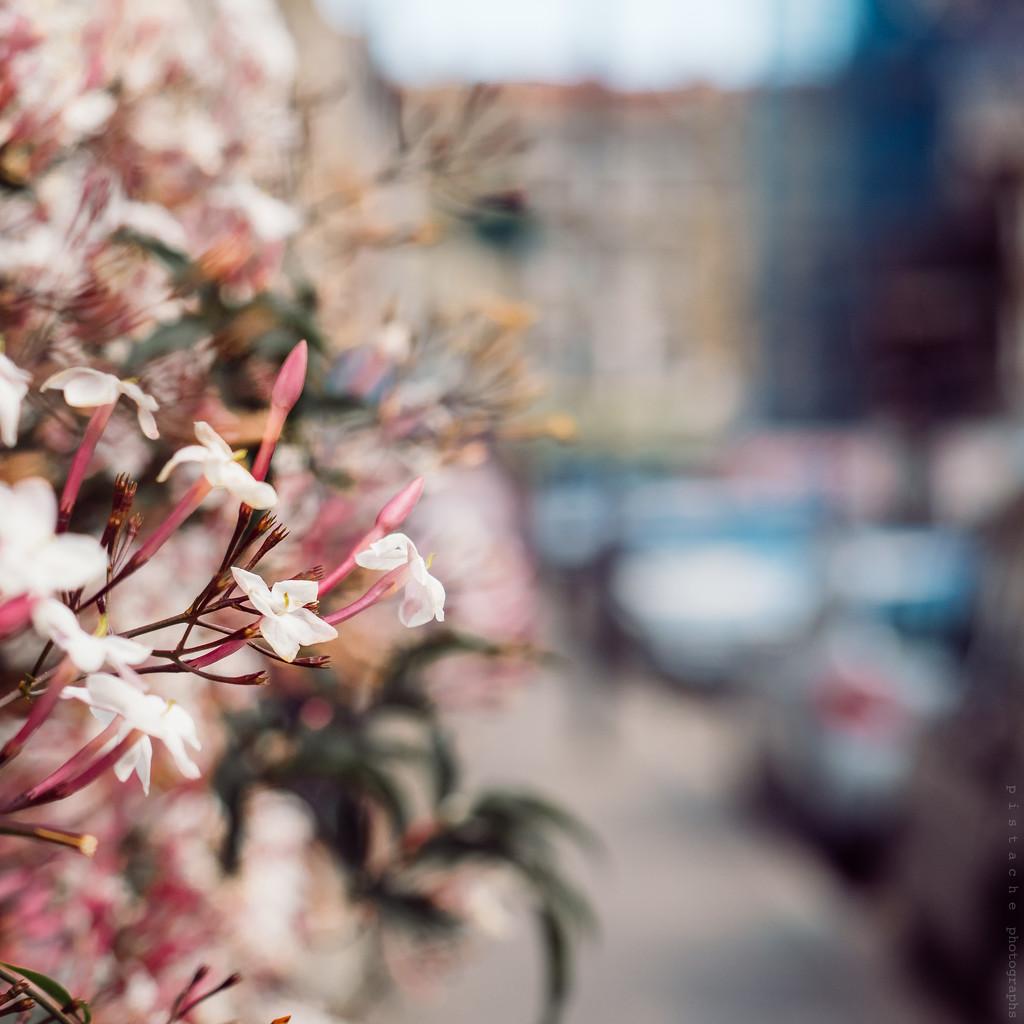 jasmine by pistache