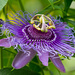 Passion Flower! by rickster549