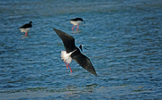 13th May 2019 - Pied stilt landing into the wind