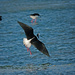Pied stilt landing into the wind