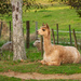 Johnny The Alpaca