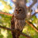 Barred owl, Magnolia Gardens, Charleston