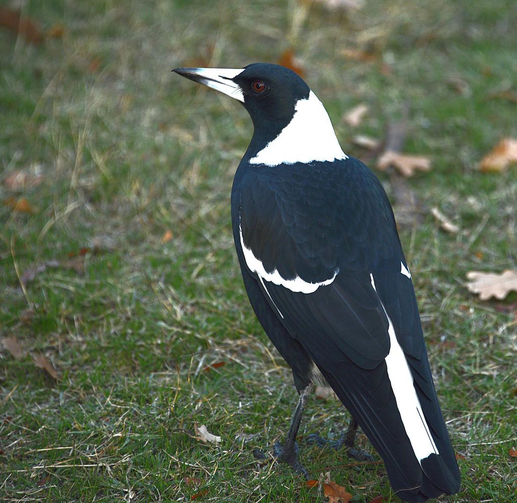 Magpie Friend by fr1da
