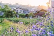 13th May 2019 - Cornflowers in Japan