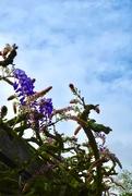 13th May 2019 - Annie's wisteria vine arbor