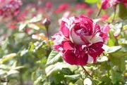 13th May 2019 - Rose