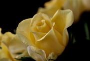 13th May 2019 - Yellow Rose