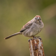 12th May 2019 - Rufous-winged Sparrow