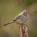 Rufous-winged Sparrow by mikegifford