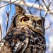 Spotted Eagle Owl up close,