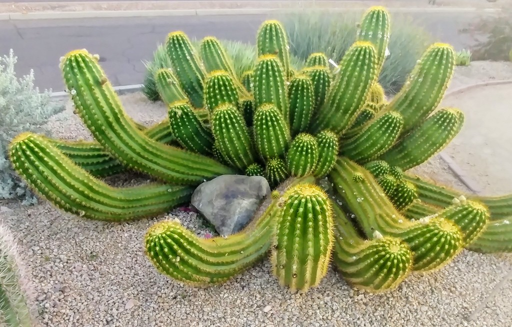 Cactus by harbie