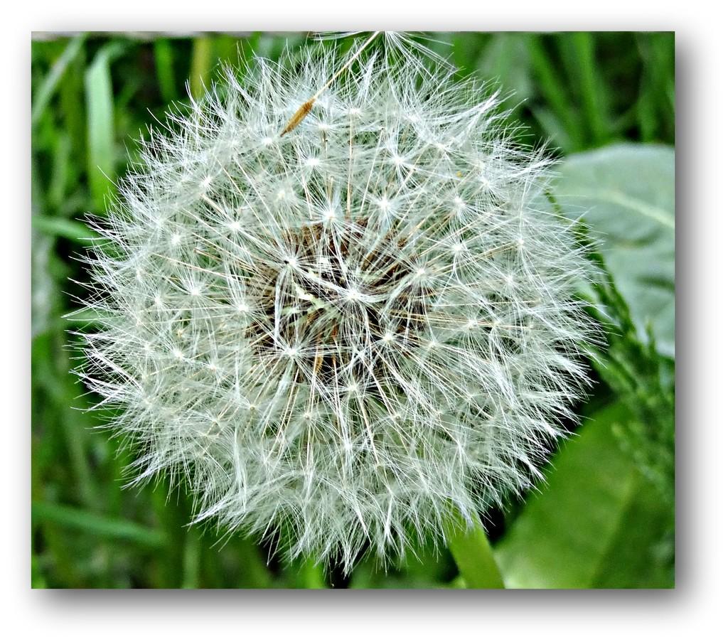 dandelion by gijsje