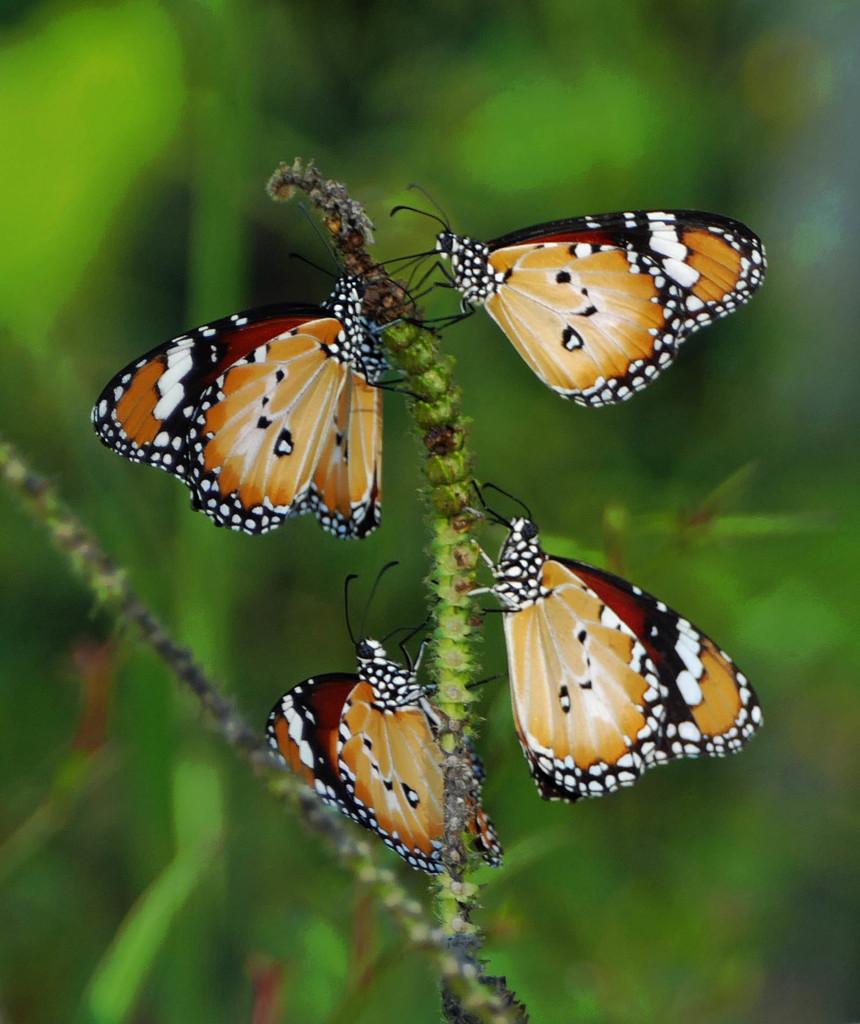 Monarch Butterflies  by judithdeacon