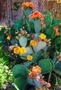 14th May 2019 - Lori's Prickly Pear Cactus