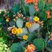 Lori's Prickly Pear Cactus
