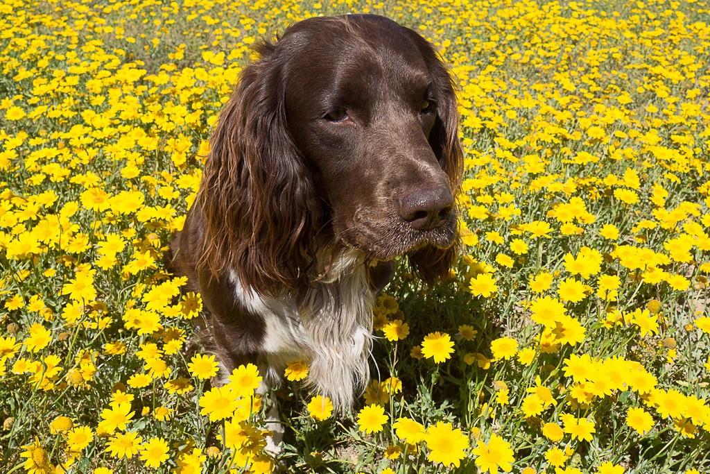 Le chien fleuri #2 by laroque