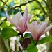 Magnolia by carole_sandford