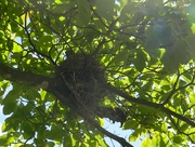 14th May 2019 - Robin in Nest in tree