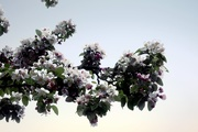 3rd May 2019 - Blooming Tree