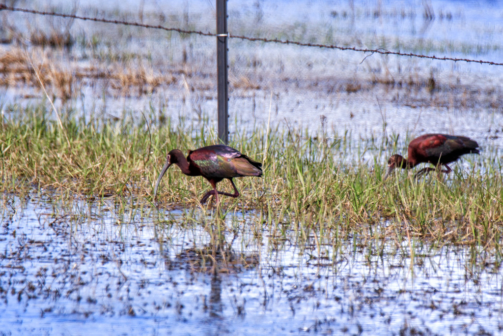 white-faced ibis by aecasey