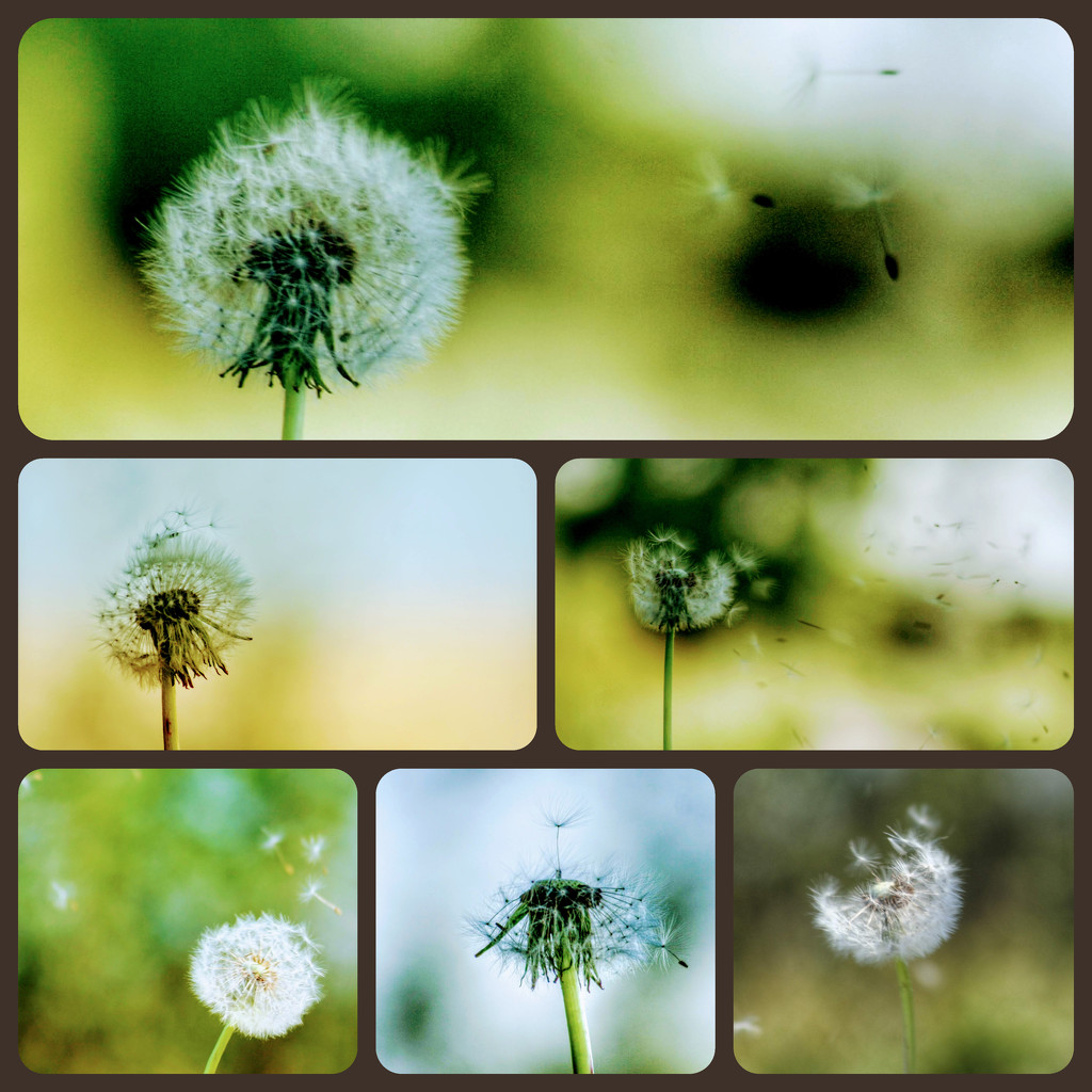 More with the dandelion fluff - hubby was blowing it as I took shots! by lyndamcg