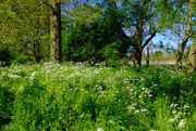 14th May 2019 - Cow parsley