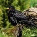 BEDRAGGLED BLACKBIRD