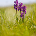 2019 05 13 - Green Winged Orchid