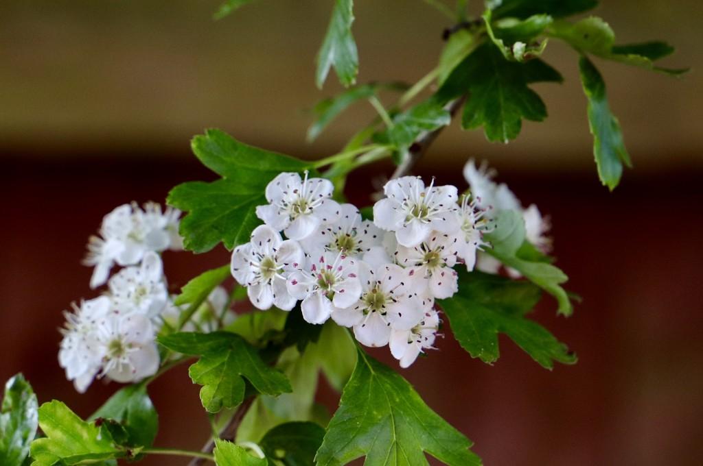 Hawthorn Blossom  by carole_sandford