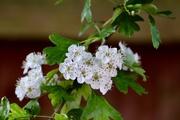 15th May 2019 - Hawthorn Blossom