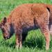 Baby bison tasting