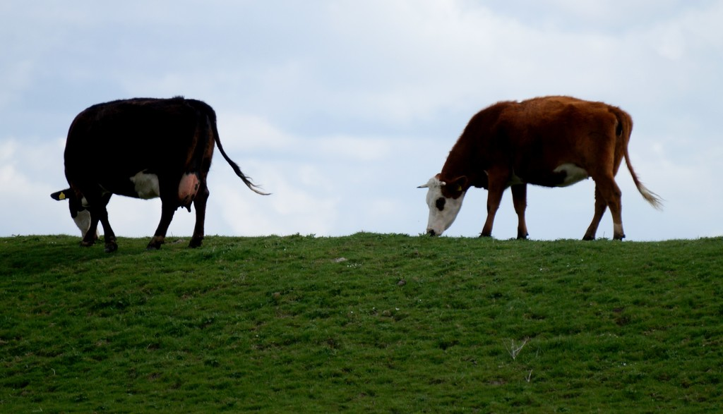 cows on a dike  by gijsje