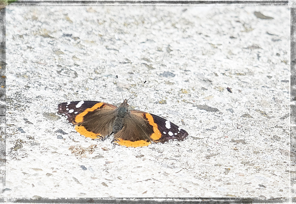 Red Admiral by gardencat