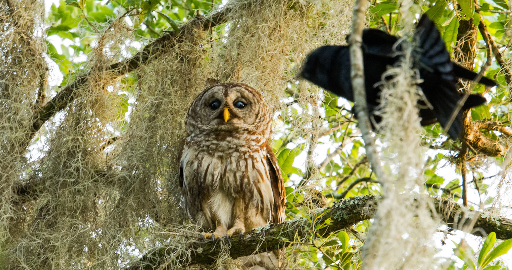 Momma Barred Owl Being Harassed! by rickster549