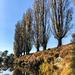 Poplars from below