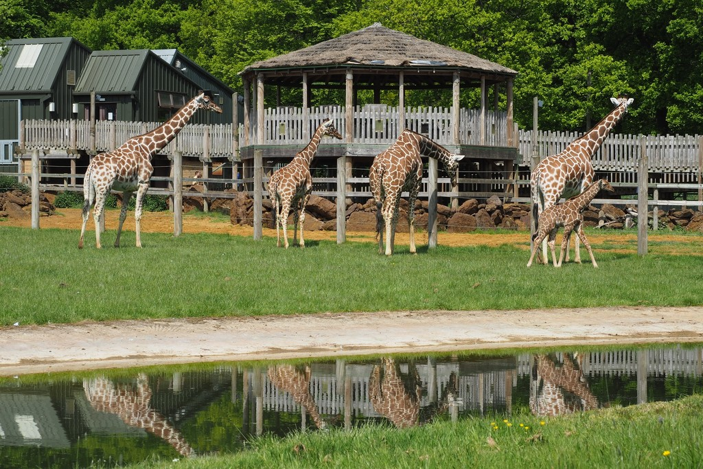 Giraffes and their reflections by bizziebeeme