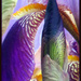 Iris Abstract by seattlite
