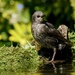JUVENILE STARLING - TWO