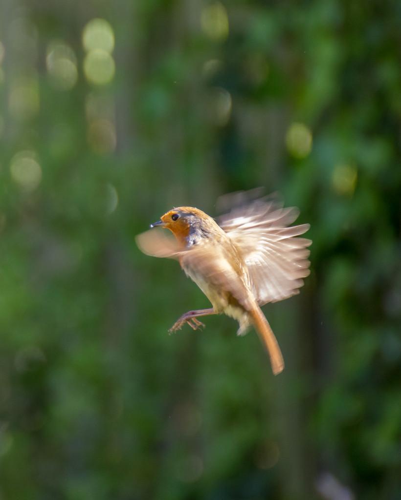 The flight of the robin... by peadar