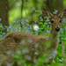 White tail deer and Virginia bluebells