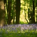 Bluebell Wood II