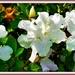 Three White Azaleas ~