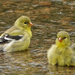 Goldfinches Bathing