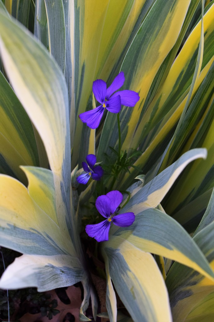Violets in the Iris leaves by sandlily