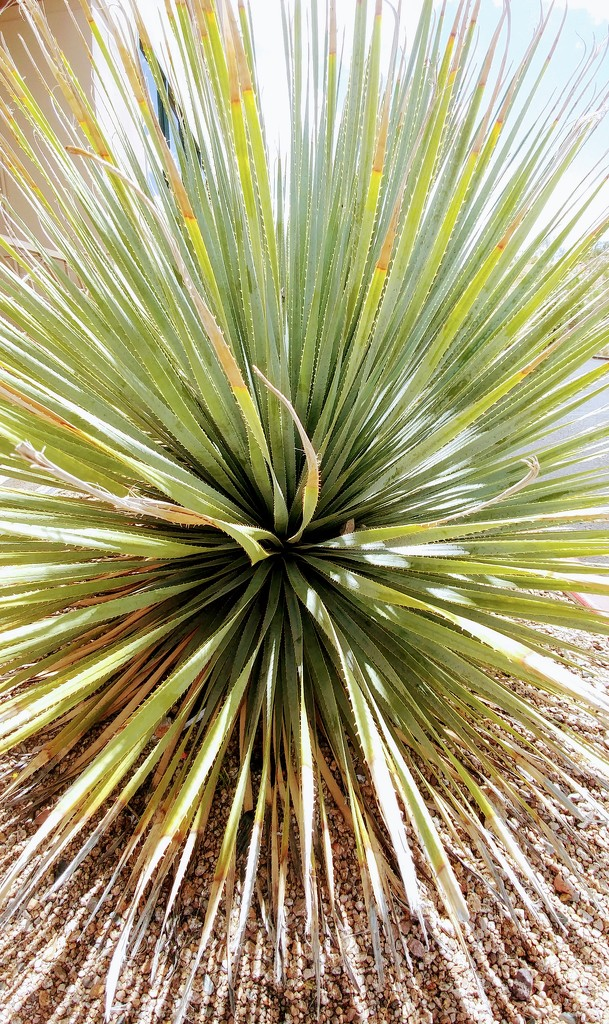 Yucca Plant by harbie