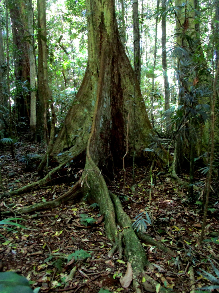 Ancient roots of the Ficus tree.  Mary Cairn Cross  Queensland by 777margo