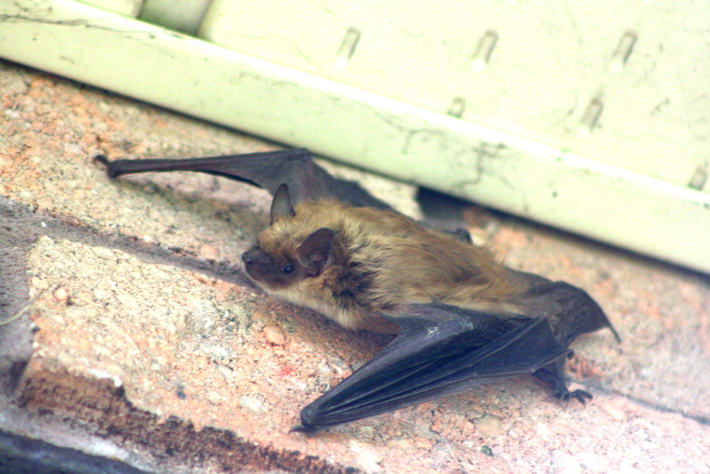 Nocturnal - bat outside during the day by bruni