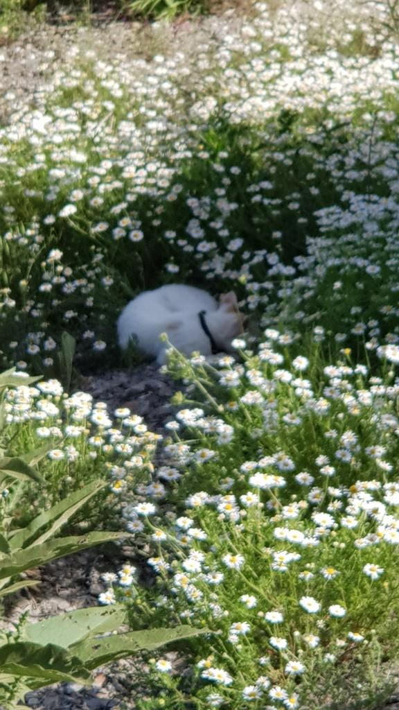 Cat in Daisy by angelunderwater