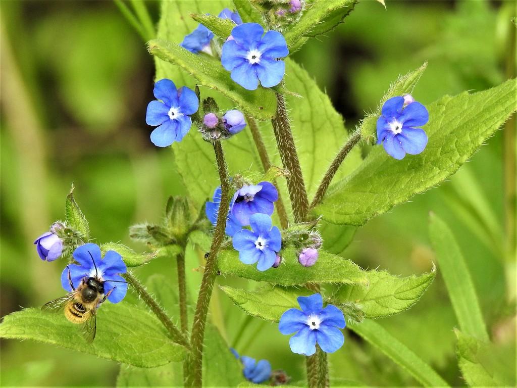 Bee on Pretty Blue Flowers by susiemc
